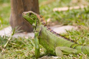 Iguana outside