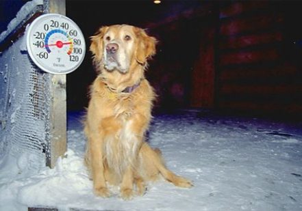 "Alaska. Fairbanks.  ""Jackson"", a golden retriever of the North, braves -45 degrees F."